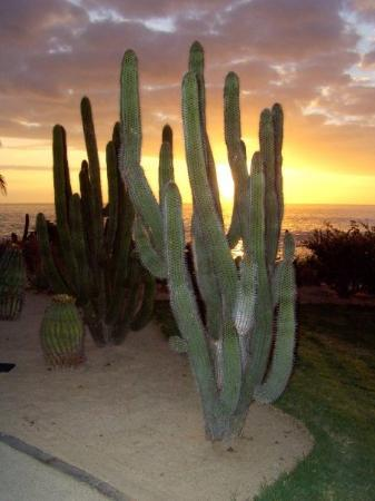 Todos Santos, Meksiko: Saguaro on hotel property at sunset