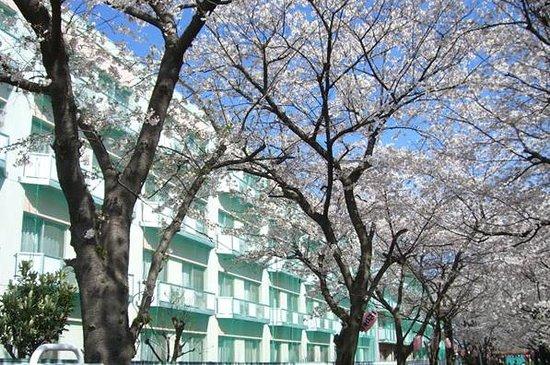 Warabi, Japão: Blick vom Balkon: lange mit Kirschblüten versehene Straße auf der Zimmerseite des Hauses