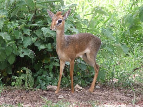 Tarangire Safari Lodge: Dik Diks patrol the grounds.