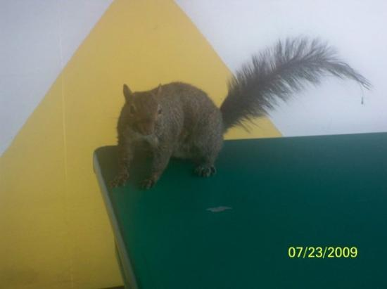 Holiday World % Splashin' Safari: This squirel was hanging out in the concession area at Holiday World.  She enjoys eating french