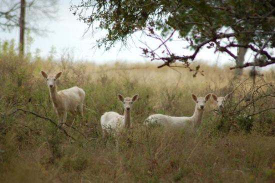 Interesting And Interested Deer Near Marble Falls Tx