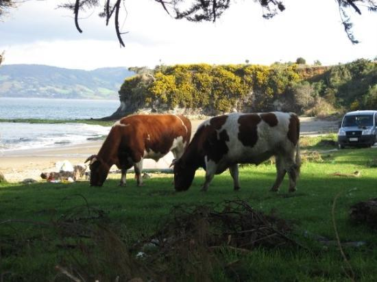 Isla Chiloe, Chili: Chiloe - Nothing like cows on the beach