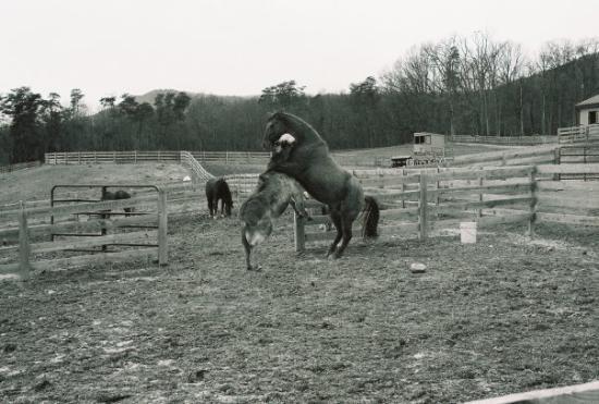 McGaheysville, VA: Horse and Donkey...