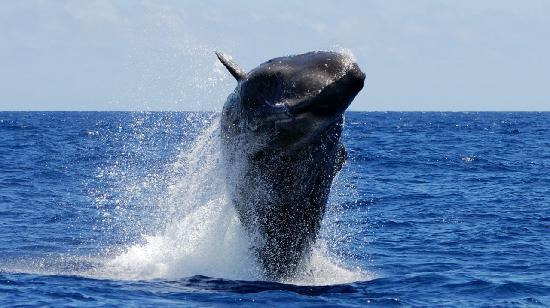 Madalena, Portugal: Sperm whale breaching