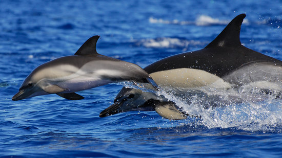 CW Azores : Mother and calf Common dolphins