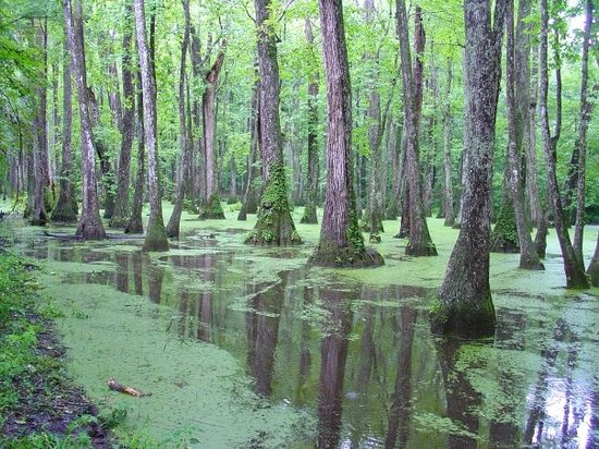 Natchez, MS : Cypress swamp
