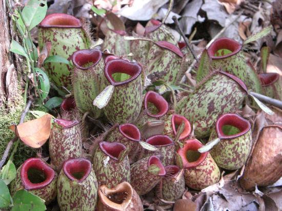 Central Kalimantan, Indonesia: one of the many carnivore plant in the jungle
