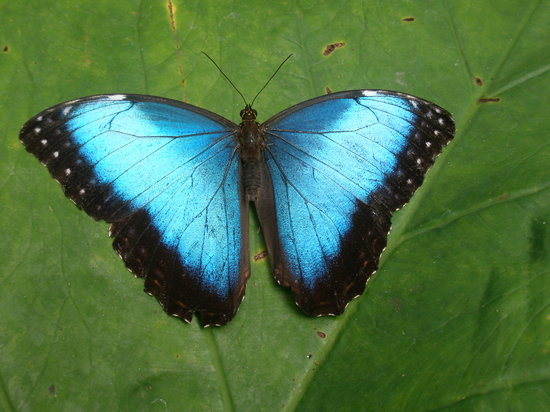 El Castillo, Costa Rica: Blue Morpho photographed in the garden