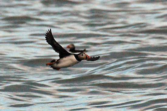 Big Bras d'Or, Kanada: An Atlantic Puffin flying