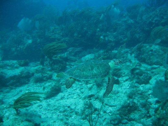 Aqua Mania Adventures: sea turtle