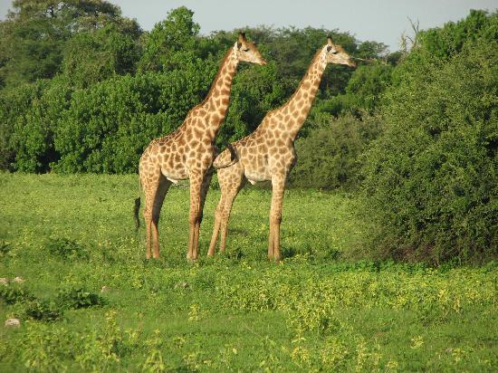 Chobe National Park, Botswana: Giraffe galore