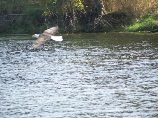 La Crosse, WI: Bald Eagle seen on a boat ride taken in LaCrosse