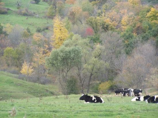 La Crosse, WI: Wisconsin, cows