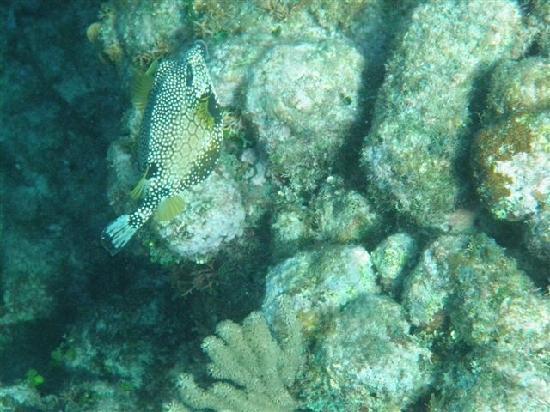 Mayan Princess Beach & Dive Resort: Cowfish (my favorite...love these guys)