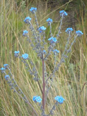 Mount Elgon National Park: flowers at the moorland