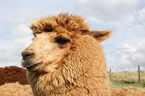 Astelia Lodge: The alpaca's