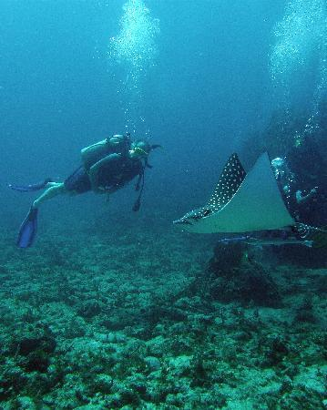 Scuba Fun Dive Center: The Eagle Ray - Up close and personal