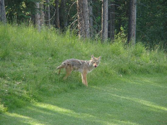 Stewart Creek Golf & Country Club: Coyote on the course