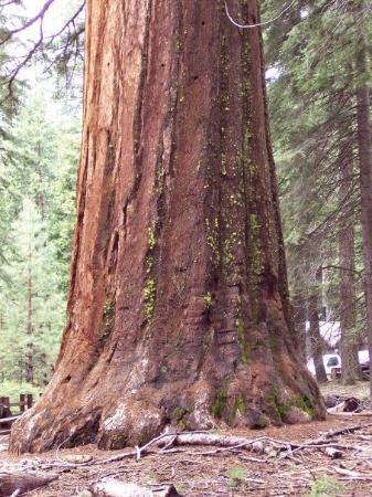 Mariposa Grove of Giant Sequoias: Giant Sequoia at Mariposa Grove - Yosemite National Park