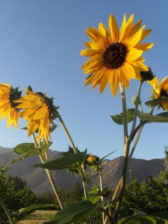 The Plum Tree B&B : Sunflowers and a view of the mountains