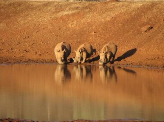 Ohrigstad, South Africa: Rhinocéros blancs au coucher du soleil