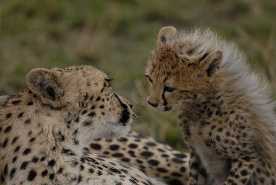Rekero Camp, Asilia Africa: Mum and Toto Cheetah