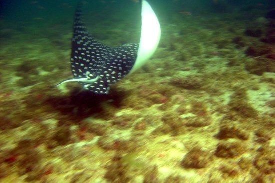 نويفو فالارتا, المكسيك: eagle ray