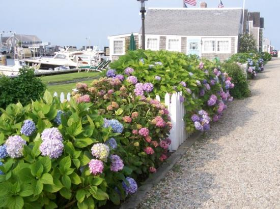 Nantucket Harbor cottages in bloom
