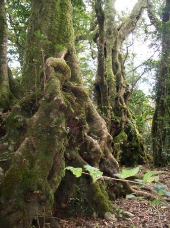 Springbrook, Austrália: alberi antartici