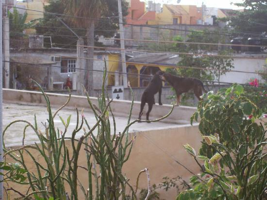 Mi Casa en Cozumel: Dogs on roof next door