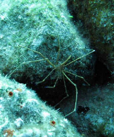 Scuba Club Cozumel: arrow crab