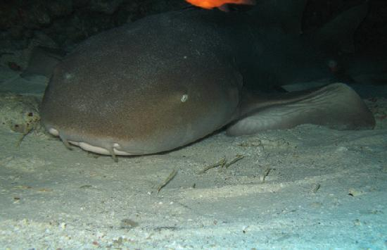 Scuba Club Cozumel: nurse shark