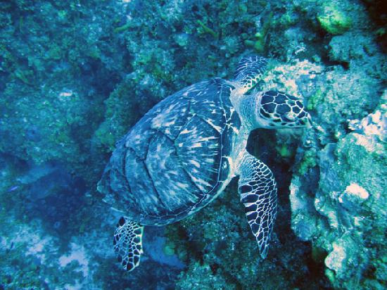 Scuba Club Cozumel : turtle having lunch