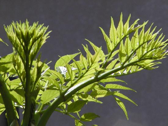 Hotel Sun Hatoya : 春になると、近くの山でたらの芽が取れます