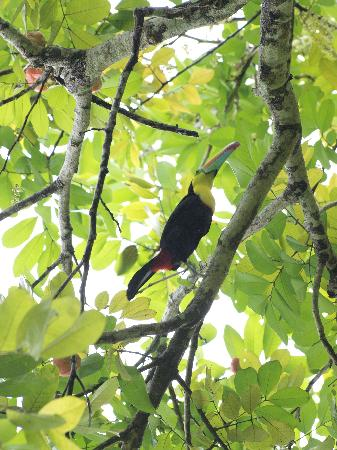 Playa Negra Guesthouse: Toucan bird in a fruit tree right in the garden just outside our door