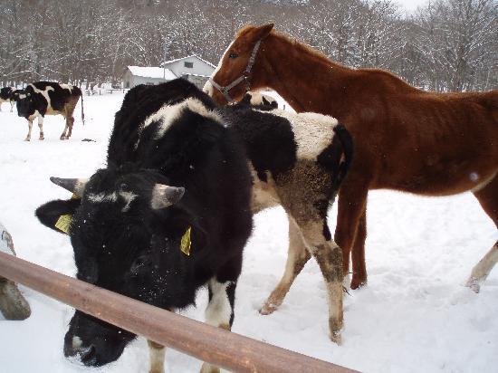 光徳牧場, 牡牛