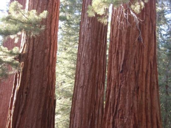 Mariposa Grove of Giant Sequoias: Beautiful Redwoods! Or Sequoias...whatev