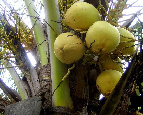 هاسيندا سان بيدرو نوبات: coconuts