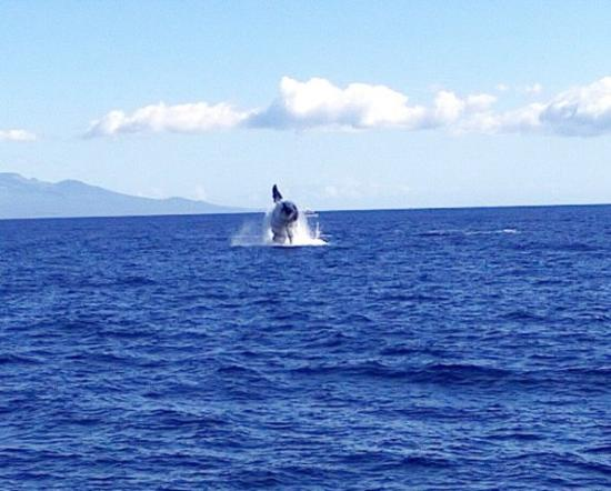 Kihei, Χαβάη: Humpback breaching off Maui