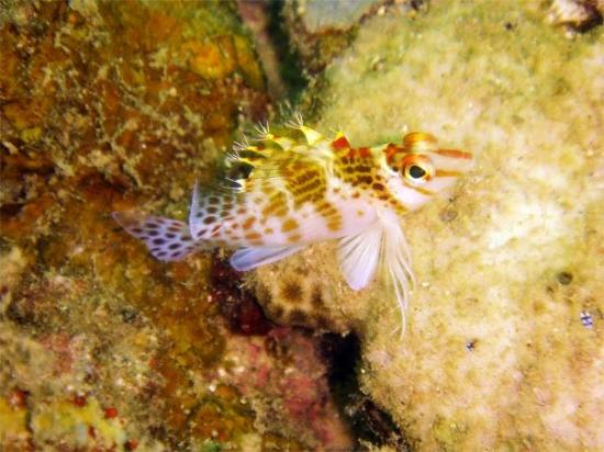 Image of: Bony Fish Subic Philippines Dwarf Hawkfish Cirrhitichthys Falco Kingdom Animalia Phylum Chordata Class Pinterest Dwarf Hawkfish Cirrhitichthys Falco Kingdom Animalia Phylum