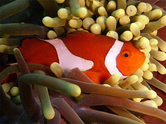 Puerto Princesa, Filippinene: Western Clown Anemonefish  The Ocellaris Clownfish, Common Clownfish or False Percula Clownfis