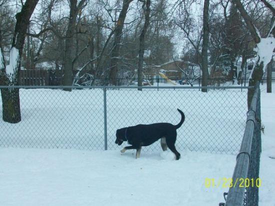 Bottineau, ND: Jade loving the snow she's got it easy
