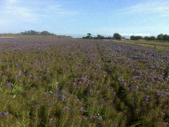 La Selva Beach, Kalifornia: Purple flower field @ MBA 4/11/09