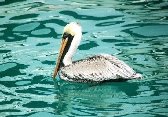 Saint Pete Beach, Floride : Beautiful Turquoise Waters silhouette a Pelican at the Key West Pier