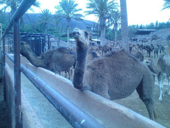Oasis Park Fuerteventura: giraffe
