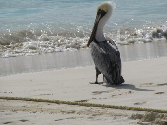 Ocean Plaza: Pelican on our beach