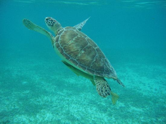 Akumal Beach : sea turtle