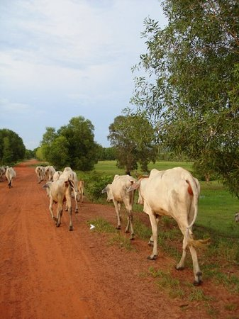Sihanoukville, Kamboja: Cows on the way