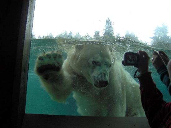 Renton, WA: The polar bear wanted to say hello.