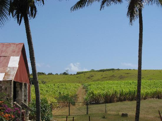 Saint Peter Parish, Barbade : Sugar cane fields at St Nicholas Abbey